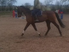 Ex Racehorses horse - 4 yrs 4 mths 16.0 hh Bright Bay - North Yor...