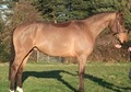 Eventers horse - 5 yrs 4 mths 16.2 hh Bay - Kent
