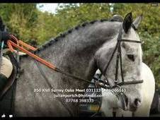 Stunning Grey Tb 5 Yrs 16. 1hh Event Prospect Gelding For Sale Do...