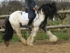 Cobs horse - 3 yrs 11 mths 14.0 hh Blue & White - Kent