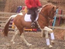 All Rounder horse - 5 yrs 15.3 hh Other - Somerset