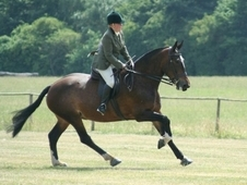Maxi Show Cob / Heavy Hunter Mare 16. 1hh Bay