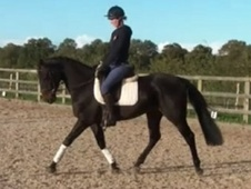 Eventers horse - 5 yrs 5 mths 153.0 hh Black - West Sussex
