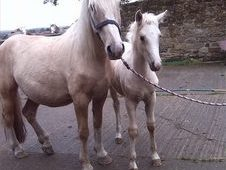 Palomino And Filly Foal