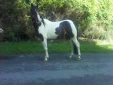 14. 1 coloured gelding