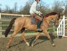 All Rounder horse - 10 yrs 16.2 hh Chestnut - East Sussex