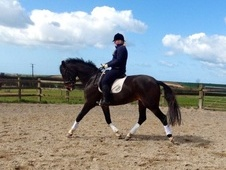 Dressage horse - 6 yrs 16.2 hh Dark Bay - Devon