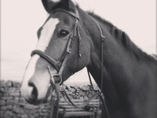 All Rounder horse - 10 yrs 9 mths 15.1 hh Bright Bay - Lancashire