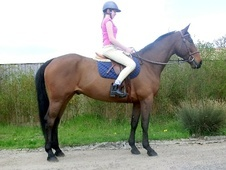 All Rounder horse - 7 yrs 15.3 hh Bay - Kent