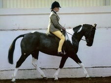 All Rounder horse - 10 yrs 14 hh Coloured - Staffordshire