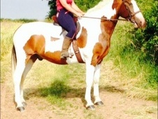 17hh Beautiful Coloured Warmblood