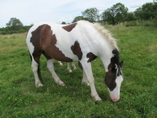 Coloured Cob Gelding. Bargain!!