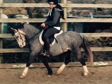 Higgonmore Charlie lead rein/first ridden 12hh OPEN TO OFFERS