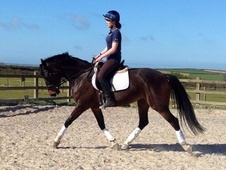 Dressage horse - 5 yrs 15.3 hh Dark Bay - Devon