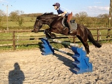 All Rounder horse - 12 yrs 4 mths 14.1 hh Dark Bay - Somerset