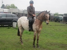 All Rounder horse - 3 yrs 15.0 hh Appaloosa