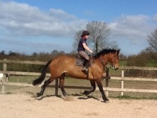 All Rounder horse - 6 yrs 17.2 hh Bay - Derbyshire