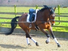 Dressage horse - 14 yrs 16.3 hh Bay - Kent