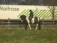Cobs horse - 5 yrs 14.2 hh Tri-Coloured - Warwickshire