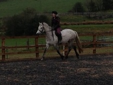 Other horse - 5 yrs 1 mth 14.0 hh Dapple Grey - Staffordshire