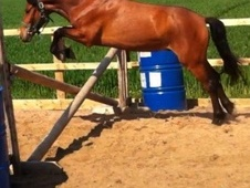 Pony Club Ponies horse - 4 yrs 13.2 hh Bay - Nottinghamshire