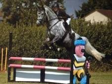 16. 1 Hands Dapple Grey 7 Year Old Gelding
