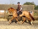 All Rounder horse - 6 yrs 16.1 hh Chestnut - Kent