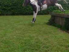 15. 3hh 10yr old jumping mare. bold and brave