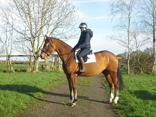 All Rounder horse - 4 yrs 3 mths 16.2 hh Bay - East Sussex