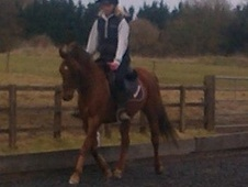 Pony Club Ponies horse - 7 yrs 7 mths 14.0 hh Chestnut - Buckingh...
