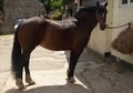 All Rounder horse - 12 yrs 3 mths 15.0 hh Bay - Derbyshire