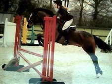 Show Jumpers horse - 7 yrs 3 mths 13.2 hh Bay - Essex