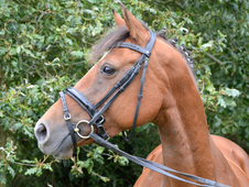 Mademoiselle in foal to Woodlander Wales