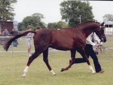 Stallions at Stud horse - 26 yrs 16.0 hh Chestnut - Surrey