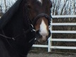 All Rounder horse - 5 yrs 11 mths 14.1 hh Dark Bay - Herefordshire