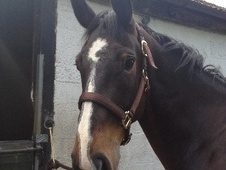 Eventers horse - 9 yrs 17.0 hh Bay - Surrey
