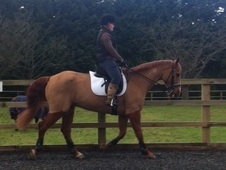 Gorgeous 16: 2hh ISH gelding by Classic Vision