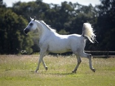 Arabs horse - 8 yrs 15.1 hh Grey - Surrey