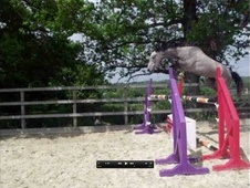 Show Jumpers horse - 3 yrs 16.0 hh Grey - West Sussex
