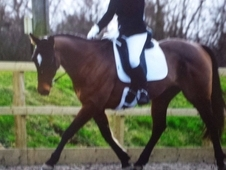 super all rounder stunning horse