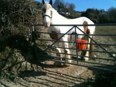 Coloured horse - 13 yrs 6 mths 15.0 hh Skewbald - Cambridgeshire
