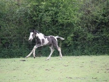 Young Stock  horse - 1 mth 16.2 hh Skewbald - Cornwall