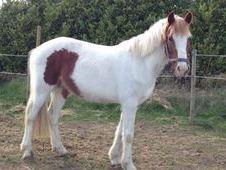 All Rounder horse - 3 yrs 13.3 hh  - South Humberside