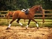 Beautiful chestnut mare with bags of potential