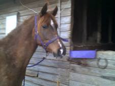 Part Bred Arab Gelding Loan Or Sale