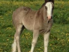 Lovely Big Shire x Cob Filly Foal to make 16. 2hh
