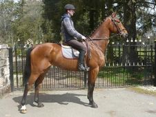 Eventers horse - 5 yrs 16.3 hh Bay - Lanarkshire