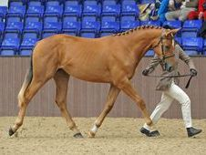 Top Quality Grade 1 Irish Draught Sports Horse Yearling Filly