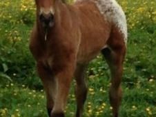 Stunning Appaloosa pure bred Colt Foal To Make 15. 2hh