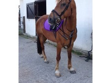 14-14. 1hh Liver Chestnut, Tommy For Sale.